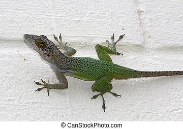 Green Antigua Chameleon on a White