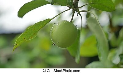 green apple hanging on a tree, dew drops water slow motion...