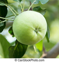 green apple on a tree branch