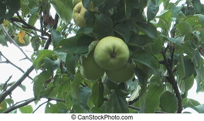 Green apples. - Close up shot of Cluster of green apples on...