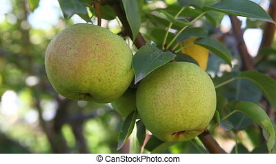 Green apples. Close up