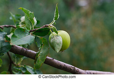 Green apples hang on a branch. Harvest. Gardening. Care for fruit trees.