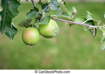 Green apples in a garden