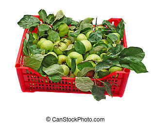 Green apples in a red box isolated