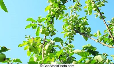 green apples in the garden on a tree against the blue sky. The harvest is ripe and organic fruits