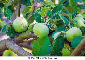 Green apples on a branch in garden tree