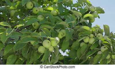 Green apples on a branch ready to be harvested, outdoors