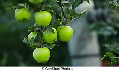 Green Apples on a Tree - Green apples on a branch