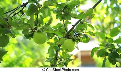 green apples on a tree in the garden