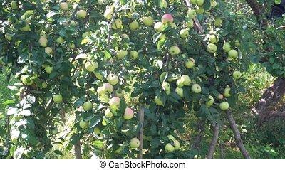 green apples on Apple tree autumn Sunny day.