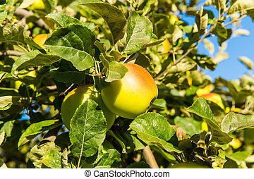Green apples on apple tree branch ready to be harvested on...