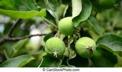 Green apples on branch
