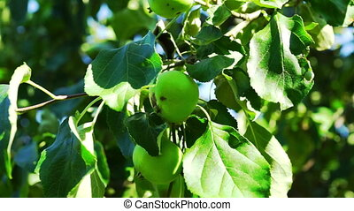 Green Apples on Tree Branch, Macro