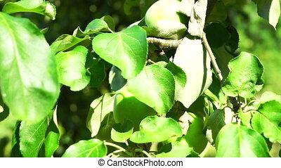 Green Apples on Tree Branch, Macro - Green Apples on Tree...