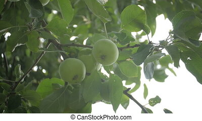 Green Apples on tree in summer garden, over the sun, dolly...