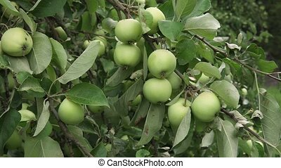 Green apples ripen on tree in orchard, hand-held shot