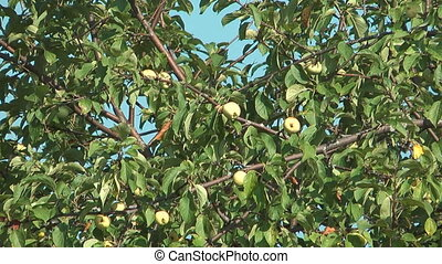 Green apples. - Apples on a tree against the blue sky.