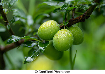 green apricots on a branch with rain drops in soft focus