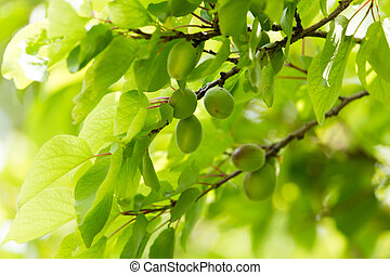 green apricots on a tree