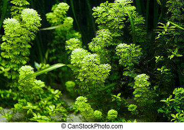Aquarium Plant - Green Aquarium Plant for background
