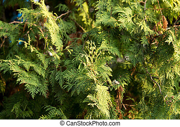 Green arborvitae branch on the nature .