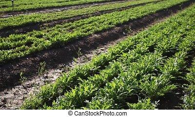 Green arugula plants carefully growing in the farm garden. High quality FullHD footage
