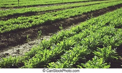 Green arugula ripening on farm field on sunny summer day. Growing of industrial leaf vegetable cultivars. High quality FullHD footage