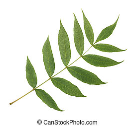 Green Ash branch - Fresh Ash branch isolated on white...