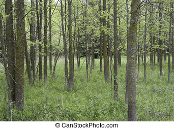 Green Ash Grove - Woodland grove of young Green Ash...