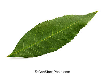 Green ash leaf isolated on white