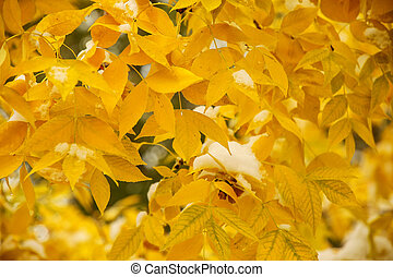 Green ash leaves with fall color - Close-up of green ash...