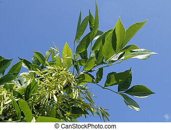 Green ash-tree branch with samaras (Fraxinus) against the...