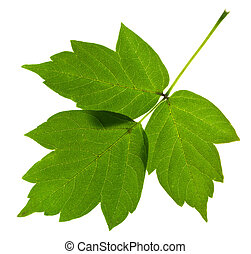 green ash tree leaves