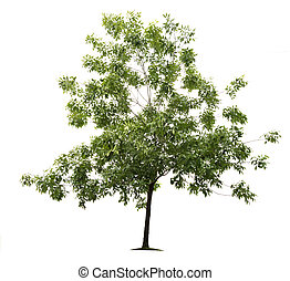 Green ash tree on white background