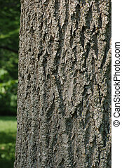 Green Ash Trunk Bark - Trunk bark from the Green Ash...