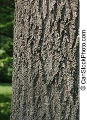 Green Ash Trunk Bark - Trunk bark from the Green Ash...