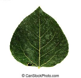 aspen leaf - green aspen leaf hi res