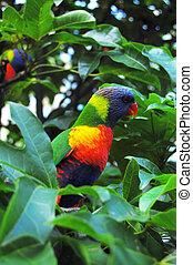 Green Australian parrot - Parrot, Lone Pine Koala Sancuary ...