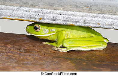 Green Australian tree frogs