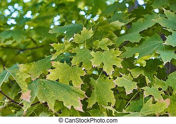 Green autumn maple leaves