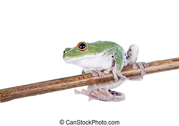 Green back flying tree frog isolated on white - Green back ...