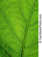 Green background. Oak leaf texture closeup.