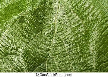 Kiwi leaf