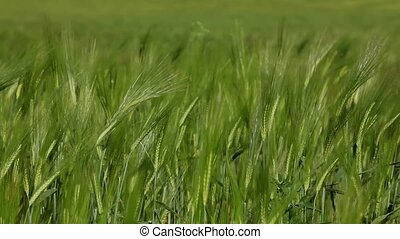 Green Background Of Wheat Ears