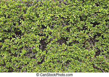 green background texture of a neatly clipped hawthorn hedge with fresh young leaves in springtime