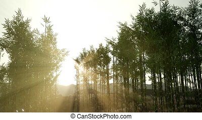 Green bamboo forest in hills
