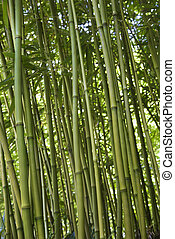 Green bamboo forest in Maui.