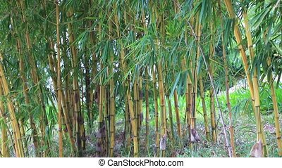 Green bamboo grove - Bamboo growing in the tropical forest...