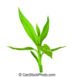 fresh green bamboo sprout, isolated on white background