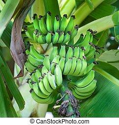 Green Bananas on a Banana Tree - Bananas ripening on a...